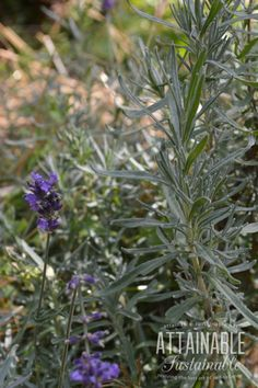 Companion planting primer: rosemary is a good companion for broccoli, cauliflower, and cabbage because it confuses the cabbage butterfly.