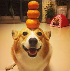 Here, she is stacking 3 oranges on her head. | Tang: The Chinese Corgi Queen
