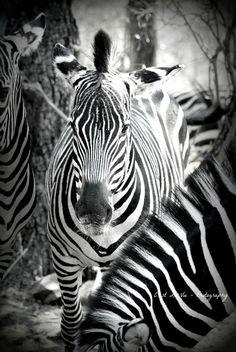 Safari Fine Art Photography  Zebra Stripes.