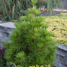 japanese umbrella pine - Google Search Evergreen Garden, Evergreen Trees, Spring Hill Nursery, Tree Shop, Shade Trees, Growing Tree, Pine Tree, Nurseries, Gardens