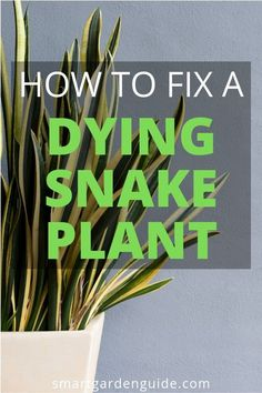 How To Identify And Fix Common Problems With Your Snake Plant. On the off chance that Your Snake Plant Is Dying, Drooping Or Looking A Bit Unhappy, This Article Will Help You Identify And Fix Your Plant. Snake Plant Care Tips. The most effective method to Growing Plants Indoors, Growing Succulents, Growing Flowers, Planting Flowers, Succulent Plants, Planting Plants, Succulent Care, Planting Seeds, Sansevieria Trifasciata