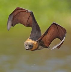 Grey Headed Flying Fox by © Michael Cleary