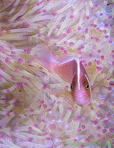 bathed in pink ... Clown fish in pink accented anemone. Near Crystal Blue Resort ... Anilao, Philippines...Beautiful Pink