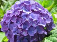 blue hydrangea  I so want these in my yard but not sure where they'll grow