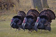turkeys | Turkeys strutting their stuff | Flickr - Photo Sharing!