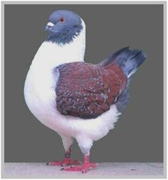 Modena Pigeon King Pigeon, Dove Pigeon, Pigeon Breeds, Pigeon Loft, Racing Pigeons, Funny Birds, Cute Creatures, Colorful Birds, Bird Watching