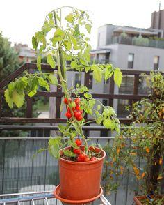 Comer un buen tomate con aceite y sal es uno de los grandes placeres de la vida. Placer además barato y al alcance de cualquiera. Tal vez por eso el cultivo de tomates sea uno de los más extendidos…