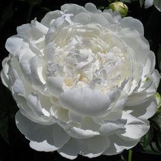 Fragrant Peony 'White Ivory'