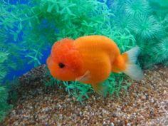 Lot# 9551 Orange (crystal scale) Ranchu (4.5 inches) goldfishnet.com