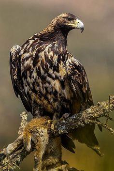 Aquila Adalberti All Birds, Birds Of Prey, Love Birds, Beautiful Birds, Animals Beautiful, Types Of Eagles, Imperial Eagle, Big Bird, Exotic Birds