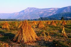 Sesame seed sheaths, Turkey