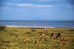 Lake Manyara in pictures – Tanzania - http://www.maggieinafrica.com/2017/02/lake-manyara-pictures-tanzania/ - After visiting an amazing coffee farm, Maggie and the team highly caffeinated and suitably pumped and keen to visit one of Tanzania's national parks. We were quickly aware of the reality that this might not happen after visiting the park gates of the Ngorongoro Crater (unless you are willing to part… The post Lake Manyara in pictures – Tanzani