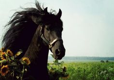 Friesian horse and sunflowers.