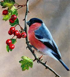 Bird on branch with berries, Bullfinch (Pyrrhula pyrrhula), Andrew Hutchinson Cute Birds, Pretty Birds, Beautiful Birds, Funny Birds, Funny Animals, Vogel Illustration, Bullfinch, Bird On Branch, Bird Crafts