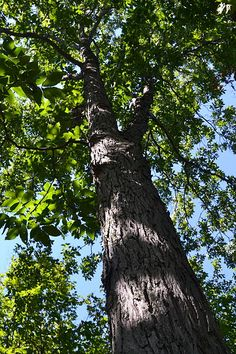 A Red Hickory tree in Ontario, Canada. Photograph by Tom Nagy. Hickory Tree, Living Off The Land, Horticulture, Trees To Plant, Garden Inspiration, Garden Wedding, Farmer, Good Times, Plants
