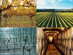 Wines of NZ is an independent guide to New Zealand vineyards and their fine wines. It's a place for international and local wine lovers to discover New Zealand . Marlborough Wine, Online Wine Store, New Zealand Wine, Fine Wine, Wine Country, Wines, Vineyard, Cruise, The Incredibles