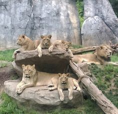 Lions oh my