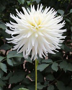 "Hy Debut Dahlia (10"" bloom; 5' bush): white; cactus."