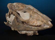 INCREDIBLE FOSSIL HORSE SKULL Mesohippus bairdi Early Oligocene Brule Formation White River Badlands South Dakota