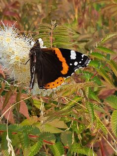 Amiraali Moth, Insects, Animals, Animaux, Animal, Animales, Animais