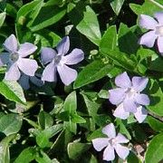 Vinca minor. Suitable for Living Wall Shade Plant. Click image to get care advice.     Other names: Small white periwinkle, Lesser periwinkle    Genus: Vinca    Species: V. minor - V. minor is an evergreen perennial, forming a mat of leaves and single, white flowers from spring to early autumn.