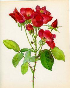 Vintage Rose Print Berlin Botanical Flower from MarcadeVintagePrints
