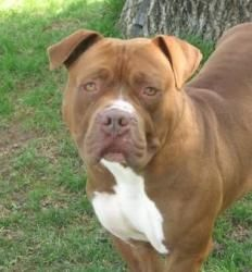 Lamar is an adoptable Bullmastiff Dog in Harrisburg, PA. Hi there! I'm Lamar and I'm a beautiful guy with a great liver colored coat with white markings. Everyone who sees me thinks I'm impressive and...