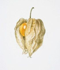 Physalis Artist: Anita Walsmit Sachs (The Netherlands)