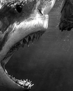 Shark a nightmare to me. Megalodon, The Great White, Great White Shark, Orcas, Le Kraken, Save The Sharks, Jaws Movie, Shark Bait, Shark Shark