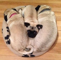 Dare I say it - as snug as a Pug in a rug....