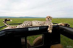 Close Encounter Close Encounters, Cheetahs, Giraffe, Cats, Animals, Beautiful, Giraffes, Gatos, Animales