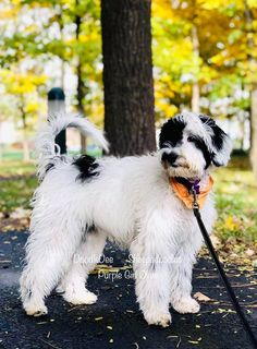 121 Best Mini Sheepadoodles Images In 2020 Puppies For