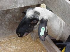 Information about soremouth-Goat Health- article is about goat and sheep..pic is a sheep