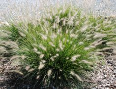 A low growing perennial like dianthus 39 firewitch 39 is great for Hearty ornamental grasses