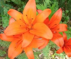 These are actually not day lilies, asiatic lilies and very orange! Hawaiian Flowers, Hibiscus Flowers, Oriental Lily, Asiatic Lilies, Garden Journal, Day Lilies, Animal Quotes, Flower Crafts, Perennials