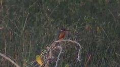 Common Kingfisher (SHRIKANT MADHAV KELKAR)