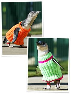 There was a major oil spill off the coast of New Zealand last week, and natural wildlife is in danger as a result. To save the lives of many Little Blue Penguins affected, New Zealanders have been knitting tiny sweaters . A call put out by Grist.org earlier this week asked knitters to send in penguin-sized sweaters and provided patterns