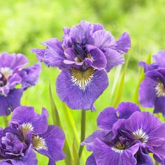#Fallisforplanting Irises! Beardless Irises are often used for naturalizing a garden or perennial border. When you receive your beardless rhizome, it will be wrapped in damp paper and placed in a plastic bag. Immediately remove the rhizomes and soak the roots in water overnight. These roots do not like to dry out so plant immediately in the fall, about four weeks before the first hard freeze. Beardless rhizomes like to be planted 1″ below the soil (2″ below for the Japanese Iris)