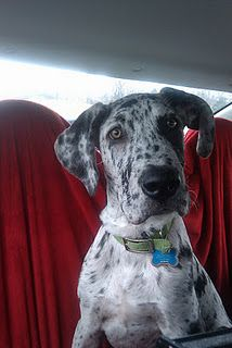love this little guy- our merle great dane, amos