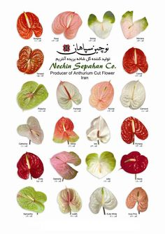Anthurium Cut Flower , Find Complete Details about Anthurium Cut Flower,Cut Flower from Fresh Cut Flowers Supplier or Manufacturer-Nochin Sepahan Tropical Flowers, Exotic Flowers, Colorful Flowers, Beautiful Flowers, Flower Colors, Seasonal Flowers, Colours, Winter Wedding Flowers, Bridal Flowers