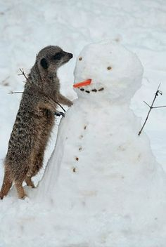 Curious meerkat wants to make friend with Snowman.