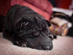 Shar pei - A Face Only a Mother Could Love (by TnOlyShooter, via Flickr)