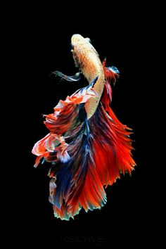 If you want to know how to take care of Betta fish, this article will help you get started and get rid of some of the most common misconceptions that people have about these fish. Pretty Fish, Beautiful Fish, Animals Beautiful, Underwater Creatures, Ocean Creatures, Colorful Fish, Tropical Fish, Poisson Combatant, Betta Fish Types