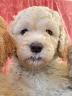 Goldendoodlepuppies - Christensen Goldendoodles Goldendoodles, Dog Pictures, Adoption, Puppies, Dogs, Animals, Foster Care Adoption, Cubs, Animales
