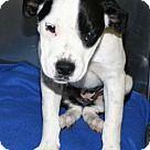 Irving, TX - Border Collie. Meet Lavender, a for adoption. http://www.adoptapet.com/pet/16333674-irving-texas-border-collie-mix