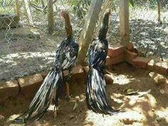 Aseel special breed Punjab Pakistan