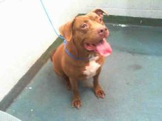 ROXY (A1675780) I am a female brown and white Pit Bull Terrier and Labrador Retriever. The shelter staff think I am about 6 years old. I was found as a stray and I may be available for adoption on 02/02/2015. — hier: Miami Dade County Animal Services. https://www.facebook.com/urgentdogsofmiami/photos/pb.191859757515102.-2207520000.1422666585./918030938231310/?type=3&theater