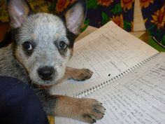 """Australian Cattle Dog puppy ♡ """"Shall I read this to you?"""""""