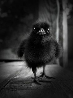 baby raven, I& raised an orphan sparrow . if I ever find an orphan who fell out of it& nest again I hope it& a raven! The Crow, Vida Animal, Mundo Animal, Black Animals, Cute Animals, Beautiful Birds, Animals Beautiful, Photo Animaliere, Tier Fotos