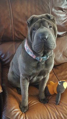 Fluffy Puppies, Cute Puppies, Cute Dogs, Shar Pei Fever, Baby Animals, Cute Animals, Shar Pei Puppies, Dog Language, Dog Rules
